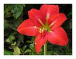 Title: Red Lily