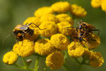 Title: Soldier Beetles - Cantharidae
