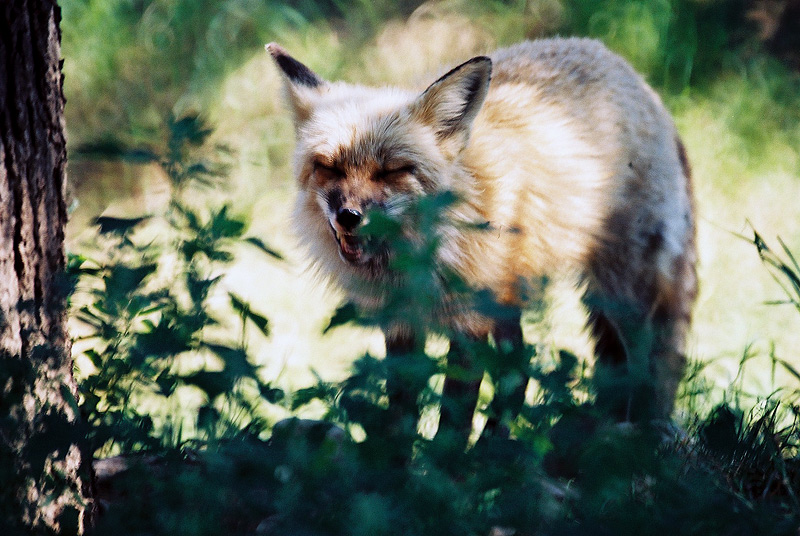 Russet-Red Fox