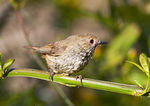 Title: Brown Thornbill