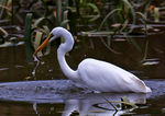 Title: Egret Fishing