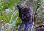 Title: Male LyreBird 84