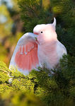 Title: Pink Cockatoo