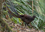 Title: Superb Lyrebird