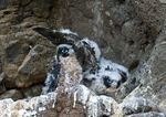 Title: Peregrine Chicks