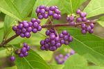 Title: Purple berries