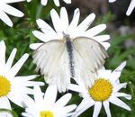 Title: White asters and a butterfly