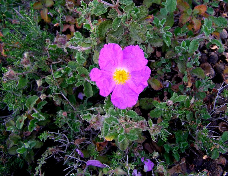 Rock Rose for