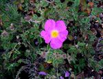 Title: Rock Rose for