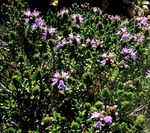 Title: Wild Thyme Colors