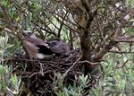 Title: My First...Eurasian Jays