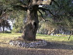 Title: Ancient Oak Tree