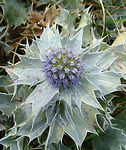 Title: Sea Holly