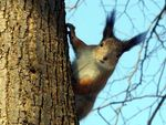 Title: March. The Squirrel.