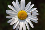 Title: The oxeye daisy