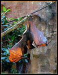 Title: Flying Fox
