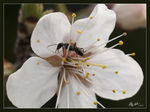 Title: Ant on blossom