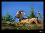 Title: Bighorn Sheep