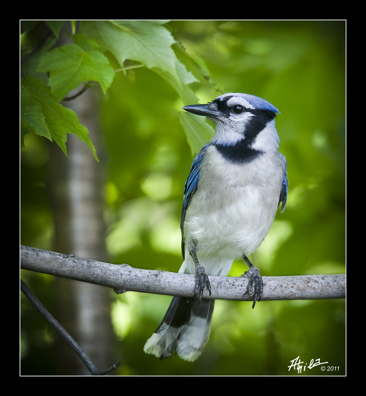 Blue Jay in my back yard