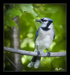 Title: Blue Jay in my back yard
