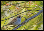 Title: Bruant famillier / Chipping sparrow