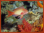 Title: Red Sea fish