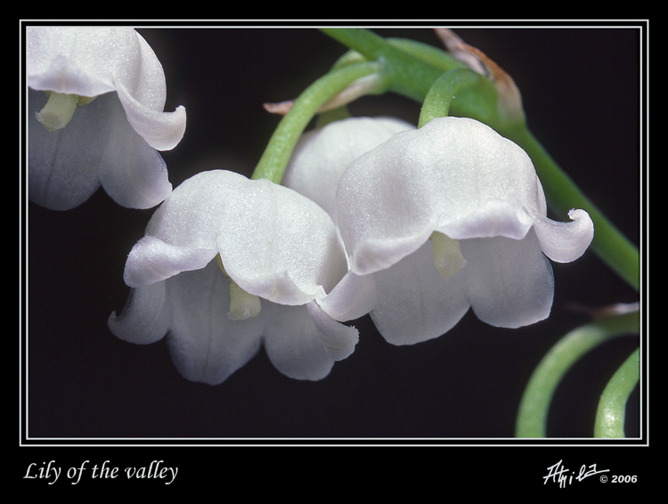 TrekNature | Lily of the valley Photo