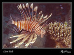 Title: Lion Fish Camera: Nikkormat EL & Ikelite housing