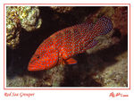 Title: Red Sea Grouper