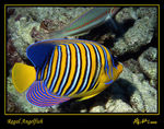 Title: Regal Angelfish