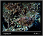 Title: Scorpion fishNikkormat EL & Ikelite housing