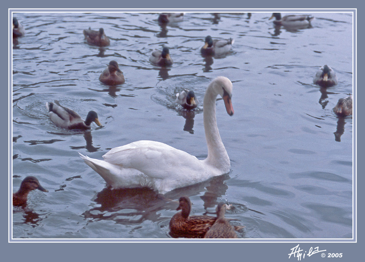 White swan and its fans