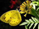 Title: Yellow Butterfly