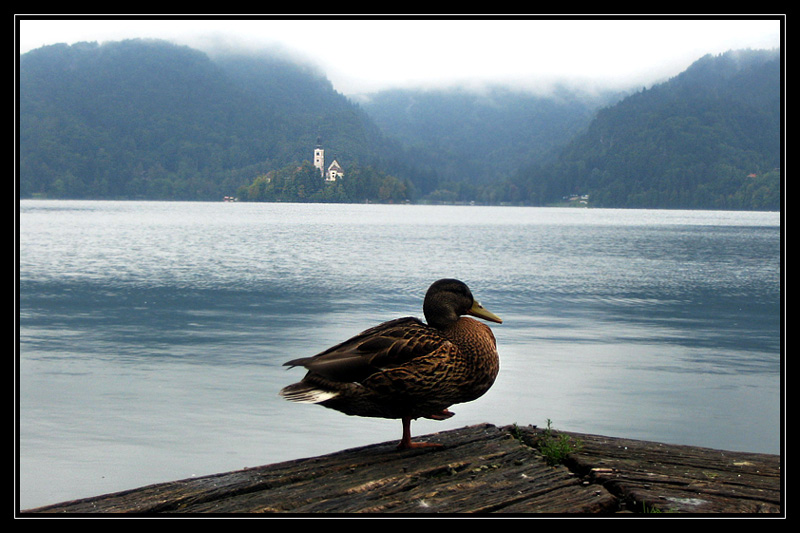 Duck On Bled