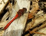 Title: Ruddy Darter (male)Fujifilm Finepix S7000