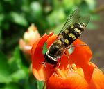 Title: Hoverfly on blossomFujifilm Finepix S7000