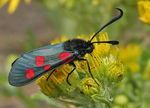 Title: Five-spotted Burnet