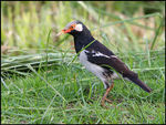 Title: Asian Pied Starling