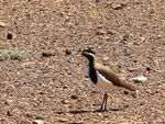 Title: Banded Lapwing