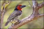 Title: Black-collared Barbet