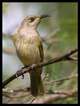 Title: Brown Honeyeater