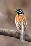 Title: Golden-breasted Bunting