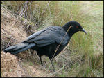 Title: White-winged Chough