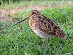 Title: Commn Snipe