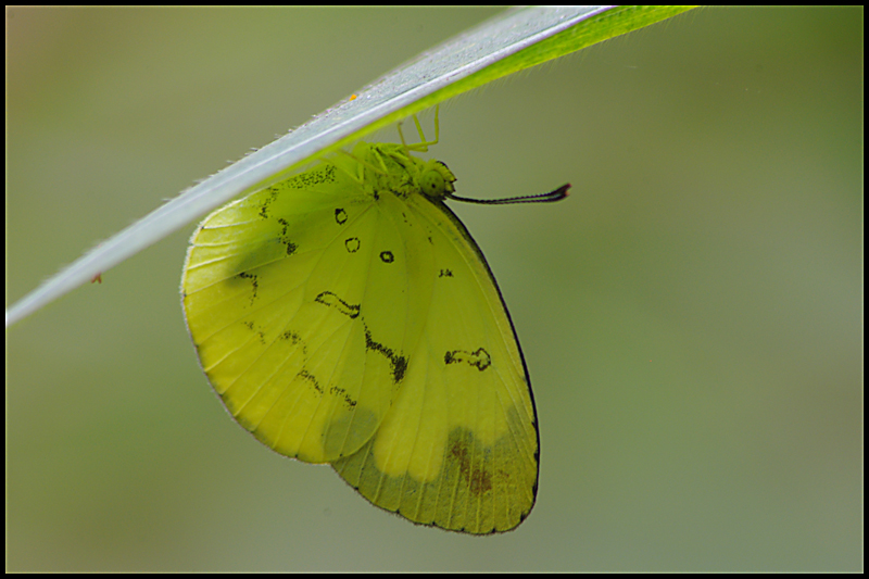 Changeable Grass Yellow