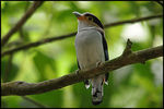 Title: Silver-breasted Broadbill