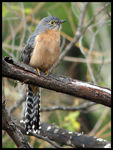 Title: Fan-tailed Cuckoo