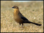 Title: Great-tailed Grackle