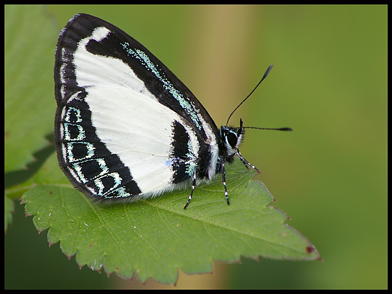 Green-banded Blue
