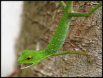 Title: Green Crested Lizard